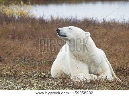 Adult polar bear catching a scent.  Autumn in Churchill, Manitoba, Canada.