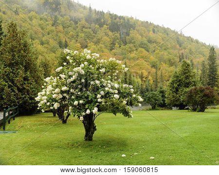 Hydrangea against autumn foliage in New Hampshire