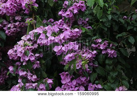 Bougainvilleais / Bougainvilleais a genus of thorny ornamental vines, bushes, and trees with flower-like spring leaves near its flowers.