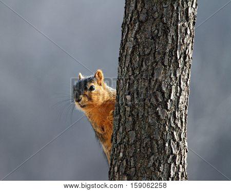 Cute squirrel poking his head around a tree