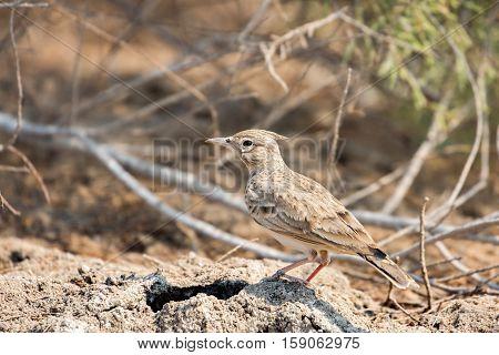 Crested lark bird in its habitat. Bahrain