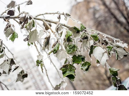 Tree branch with green leaves covered with ice. Freezing rain picturesquely frozen trees. Arrival of winter