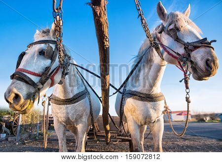 picture of white horses with a carriage