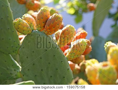 many ripe Indian fig opuntia or Prickly pear in the cactus