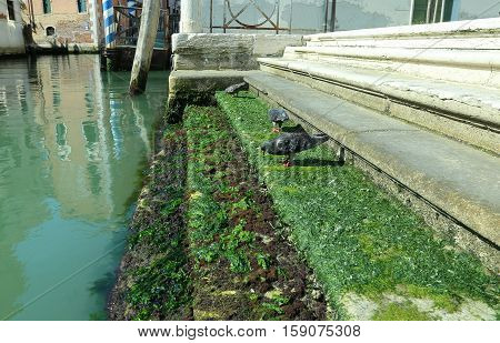 Pigeons On The Stairs Covered With Algae Along A Canal In Venice