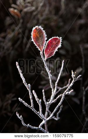 Macro closeup of frost ice crystals on two blueberry leaves