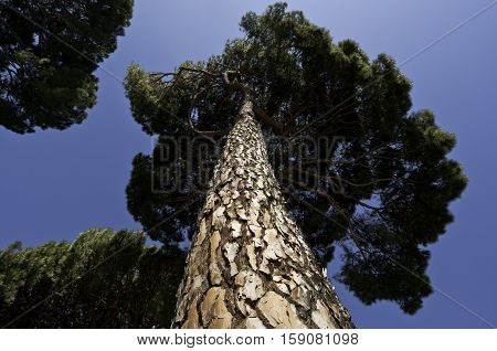 Trunk and branches of Stone Pine, Pinus pinea. It is native to the Mediterranean Region.