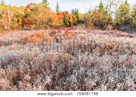 Meadow of blueberry and fern bushes covered in frost during autumn in Dolly Sods, West Virginia