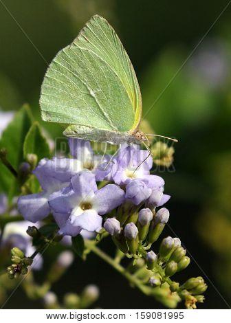 A Lyside Sulfur Butterfly (Kricogonia lyside) feeding