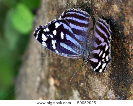 A Mexican Bluewing butterfly (Myscelia ethusa) on a tree trunk