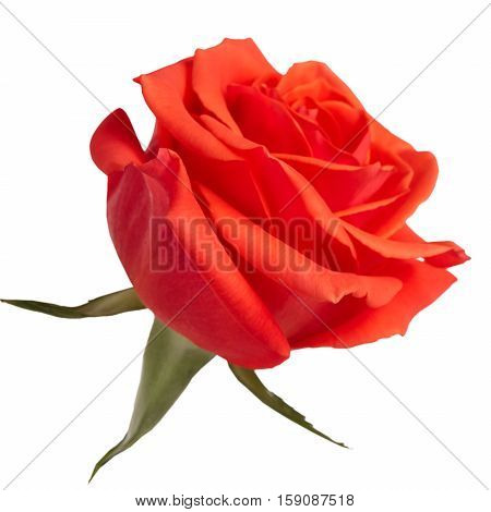 Bud fresh scarlet roses on a white background