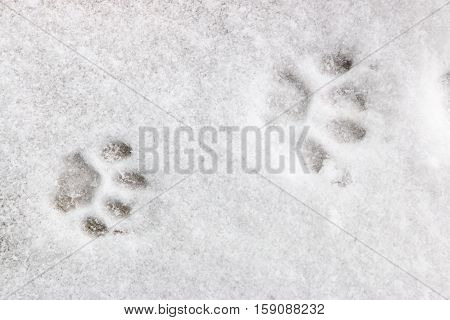 two feline footprints in the snow close up