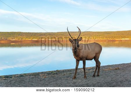 Young Elk On Lakeshore