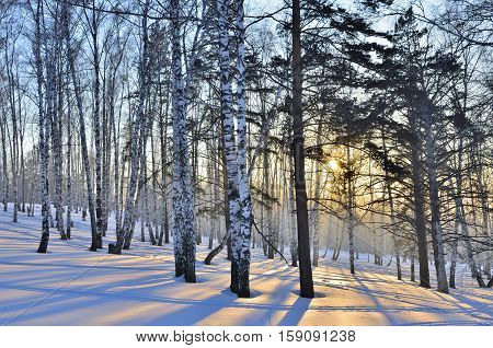 Winter landscape in the white birches forest at sunrise or sunset. Long blue shadows on the snow. Forest is permeated by golden sunlight.