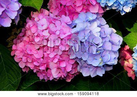 Pink and purple hydrangea flowers in the garden