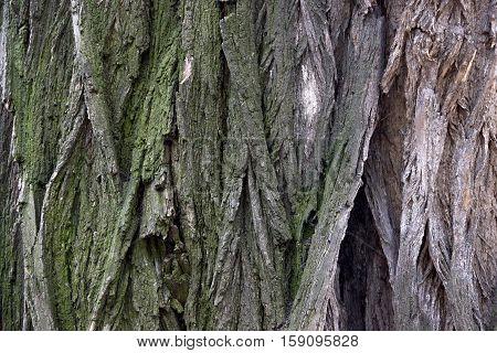 close-up textured bark of the acacia tree
