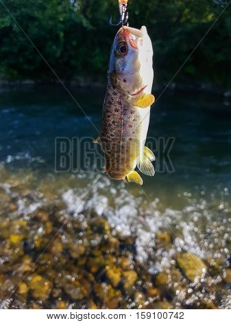 Trout on a hook, fishing in a mountain rive