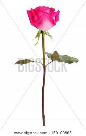 Blooming pink rose on a white background