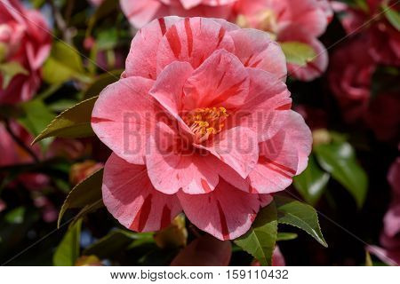 Variegated Pink Camellia flower in a garden