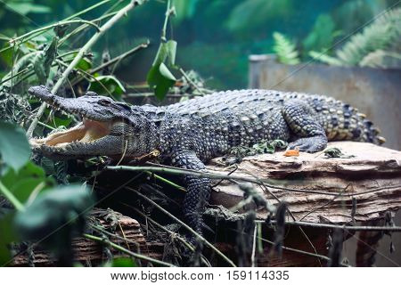big crocodile with mouth opened in zoo