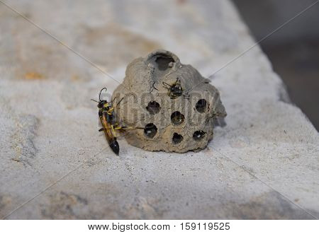 Break A Hornet's Nest Of Clay. Nests Of Clay Belonging Wasp. Clay Camera In The Nest And Store Food