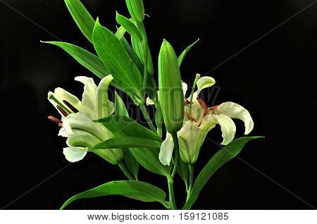 White lilies with green leaves against solid black background