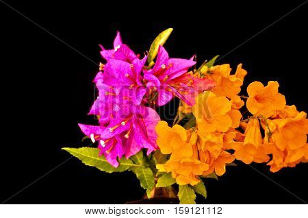 Purple and orange flowers with green leaves against black background
