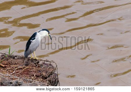 Hunting Bird On The River's Edge. Bird Also Known As Soco Dorminhoco Bird In Brazil, A Type Of Egret