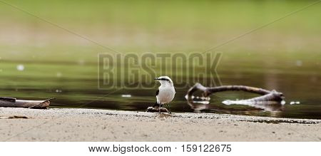 Beautiful white bird on rivers bank with water and a few branches around. Bird also known as Lavadeira Mascarada bird in Brazil.