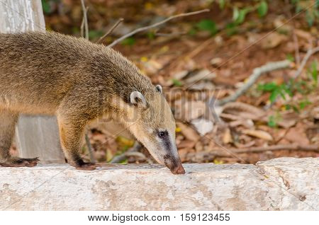 Coati walking on a concrete curb with a dry leaves background.