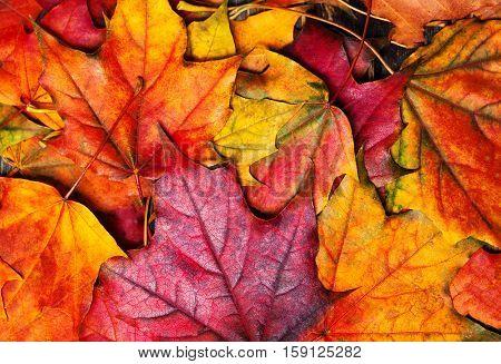 Autumn maple leaves background. Beautiful colourful maple leaves