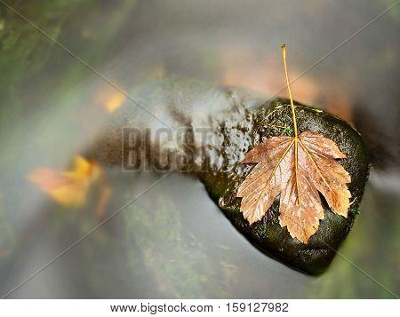 Rotten Dark Orange Maple Leaf In Wavy Stream Of Cold Water
