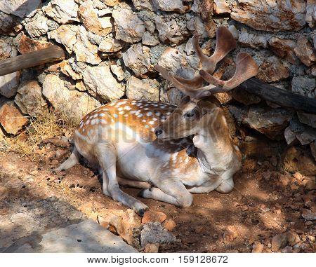 Sika deer in the Stone Park in Zakynthos. Greece