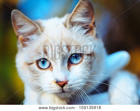 Cute cat kitten domestic ginger furry pet mammal animal with fawn coat whiskers and beautiful blue eyes on colorful background