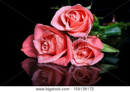 Pink roses with dew drops on black. The black background reflects a lezhashchiyen it pink roses. Free space at the left