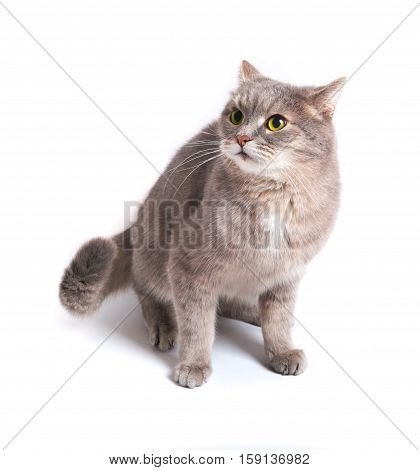 The scared cat has pressed ears and has recoiled back. It is isolated on a white background. Cat gray eyes yellow language pink