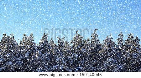 Pine tree tops in winter forest with snow against blue sky.Snowy pine trees.Christmas,winter holidays or New Year concept.Snow filtered.