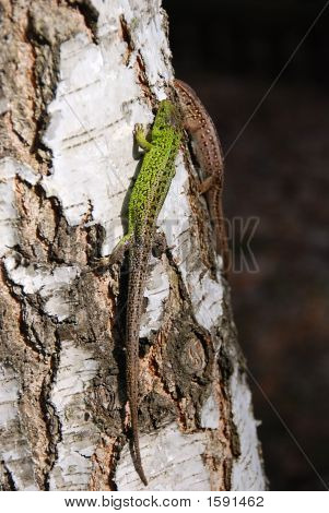 Lizards On A Tree