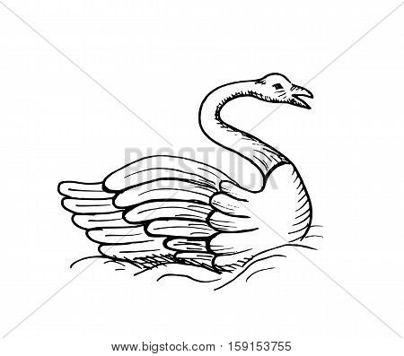 Hand-drawn sketch of swan isolated on white