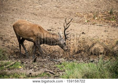 Red Deer Stag Cervus Elaphus Takes A Mudbath To Cool Down On Autumn Fall Day