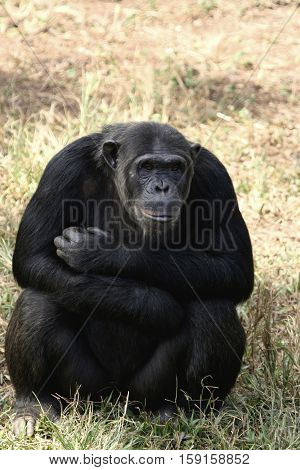 Chimpanzee at Mahale Mountain National Park in Tanzania