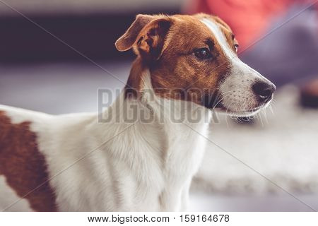 Portrait of cute dog - Jack Russel terrier looking forward