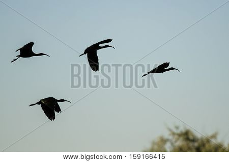 Four Silhouetted White-Faced Ibis Flying in a Blue Sky