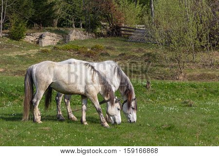 Two horses grazing on a spring meadow. Animals