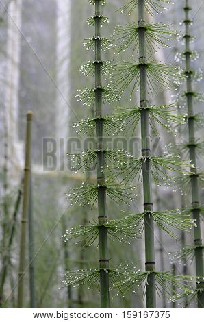 A grove with rain drops clinging to horsetail plants.