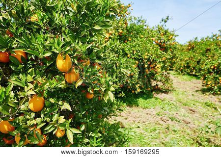 Beautiful Orange Grove In Northern Morocco