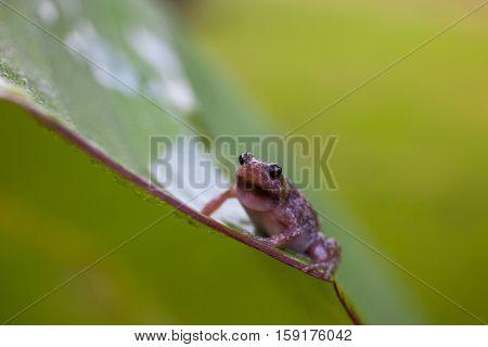 Frog on leaf close up Microhyla achatina - Javan Chorus-Frog in natural habitat Sinharaja rainforest Sri Lanka