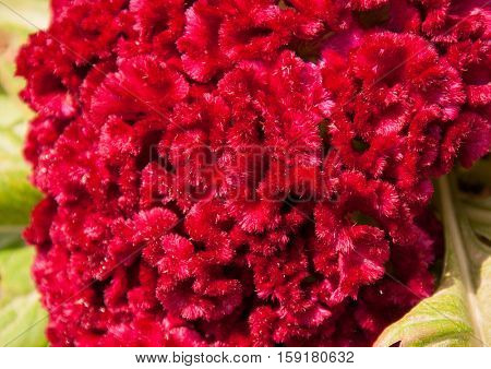 Texture of a pink Cockscomb flower