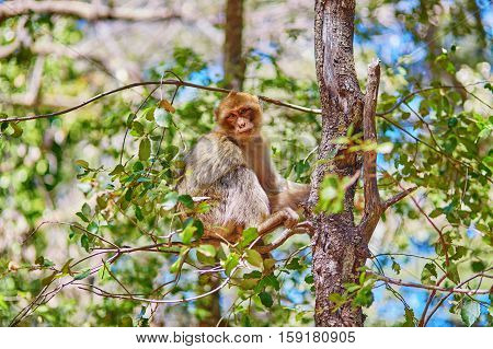Barbary Apes In The Cedar Forest Near Azrou