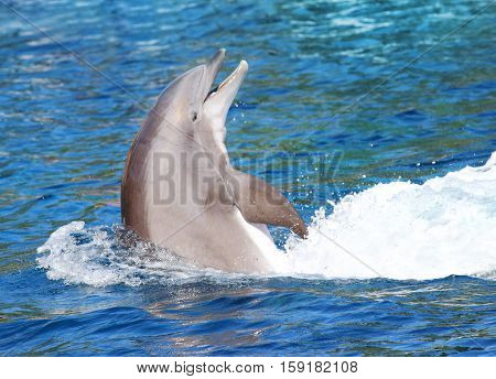 The Bottlenose Dolphin jumping in blue lagoon. Funny and friendly animal. Greeting from tropical paradise.
